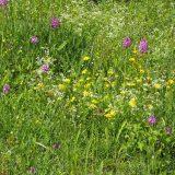 Pelouse avec Orchis pyramidale Verdu © CEN-PC